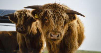Schottisches Hochlandrind - Foto: Tourismus-Service Langeoog